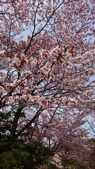 円山動物園0桜2016