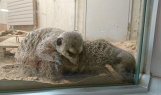 円山動物園5ミーアキャット
