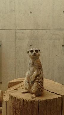 円山動物園6ミーアキャット