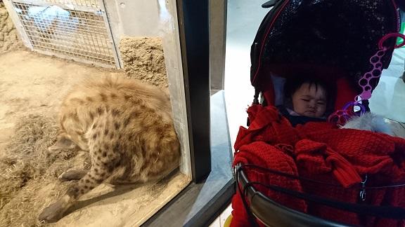 円山動物園8ハイエナ