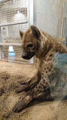 円山動物園9ハイエナ