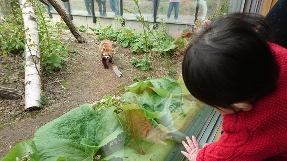 円山動物園11レッサーパンダ