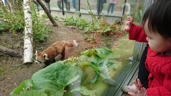 円山動物園12レッサーパンダ
