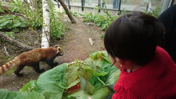 円山動物園13レッサーパンダ