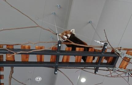 円山動物園15レッサーパンダ