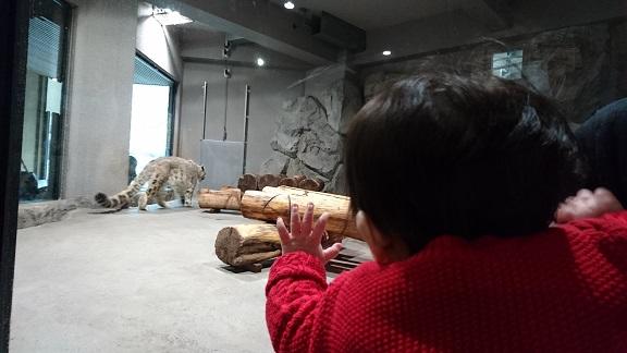円山動物園17ユキヒョウ