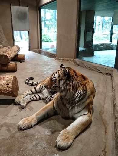 円山動物園18アムールトラ