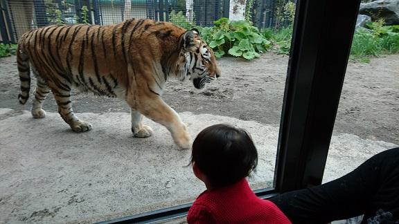 円山動物園19アムールトラ