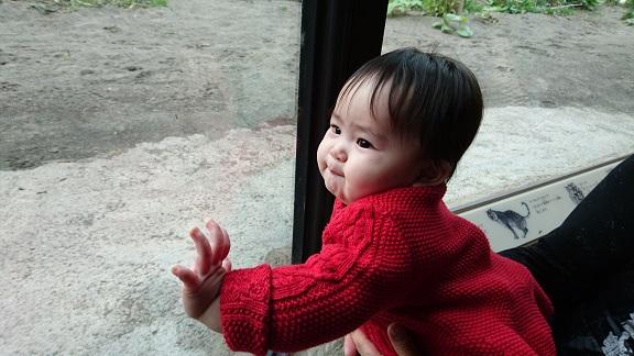 円山動物園20アムールトラ