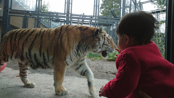 円山動物園21アムールトラ