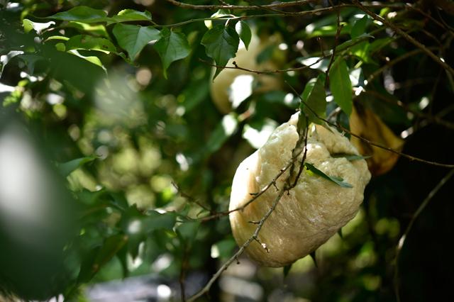 モリアオガエルの卵隗