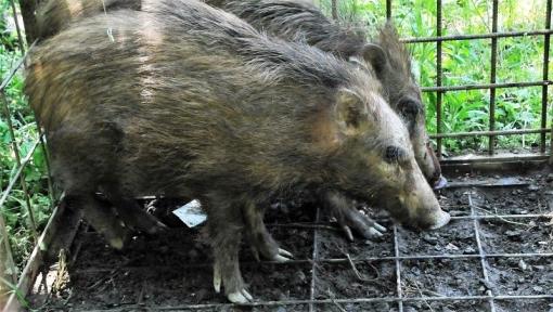 8272猪捕獲165141