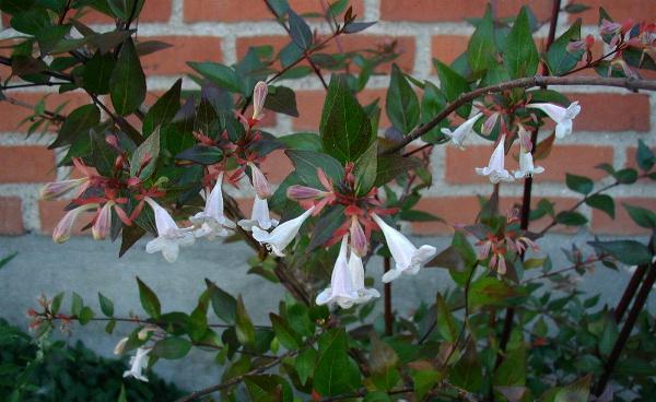 Abelia-grandiflora-total.jpg