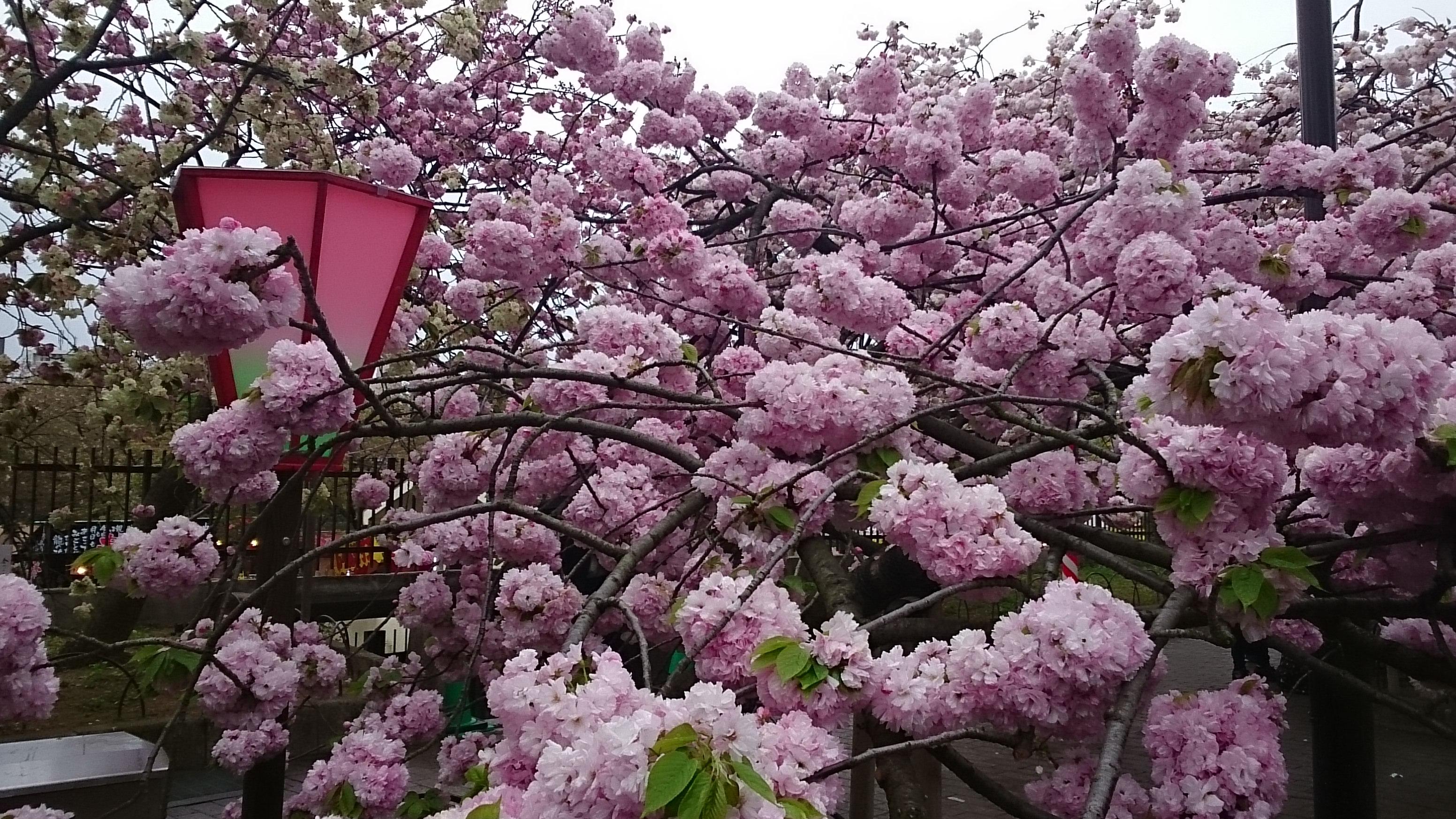 関山/大きい木