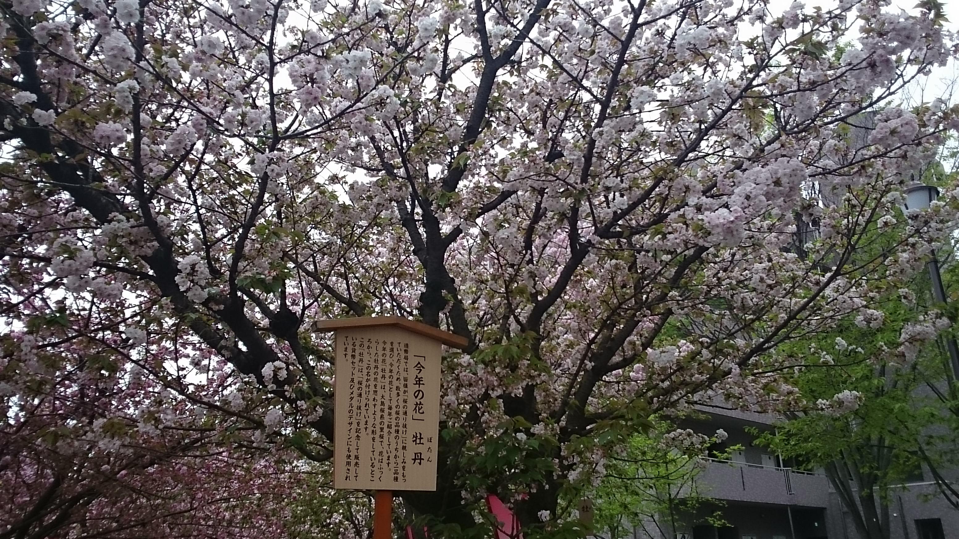 今年の花・牡丹/花