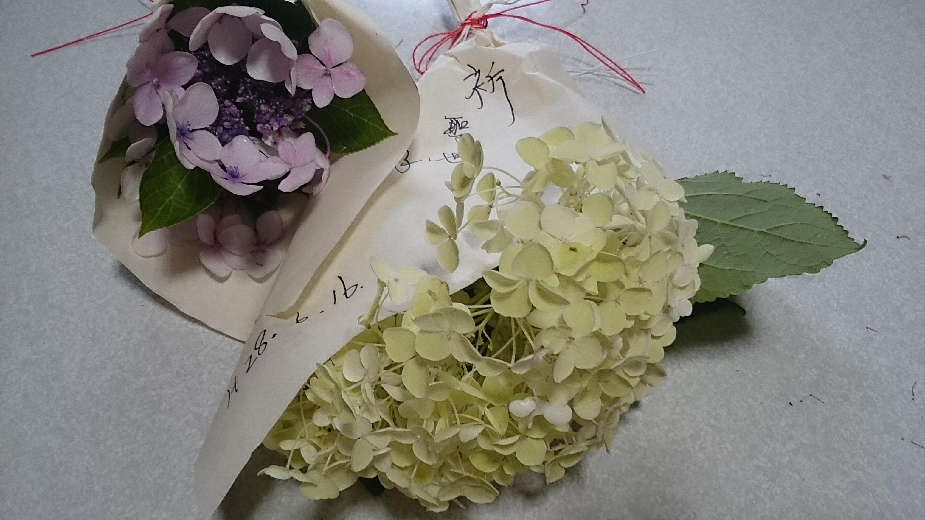 紫陽花包む