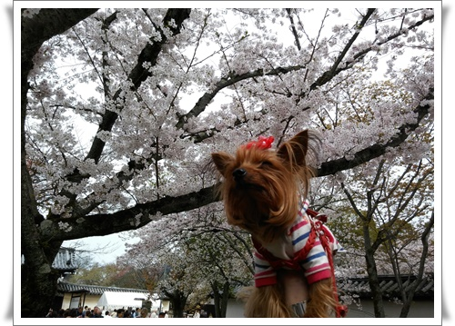 京都IMG00768-20160406