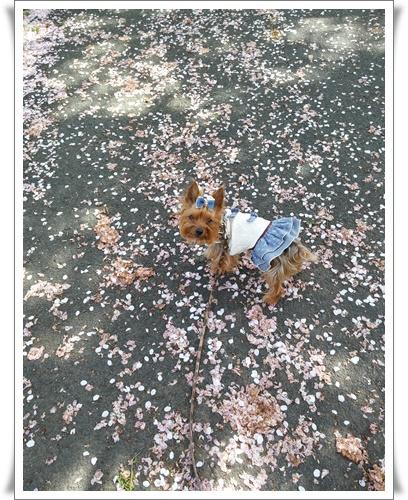 我が家の前の桜IMG00814-20160410