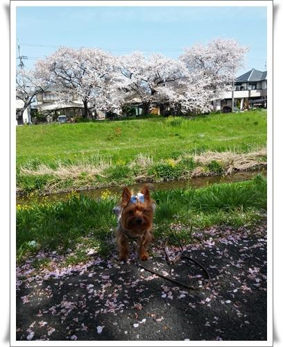 我が家の前の桜IMG00815-20160410