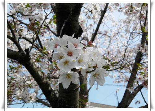 我が家の前の桜IMG00818-20160410