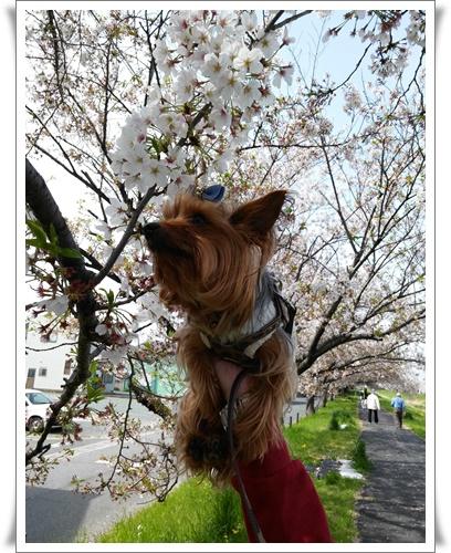 我が家の前の桜IMG00819-20160410