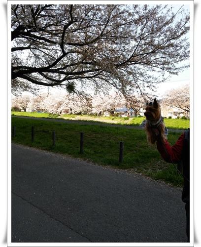 我が家の前の桜IMG00820-20160410