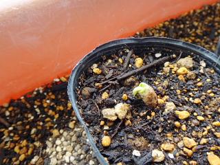 茶棉の発芽