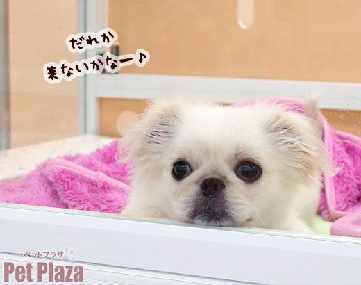 ペキニーズ 子犬 大阪府 泉南 りんくう 泉佐野 和歌山