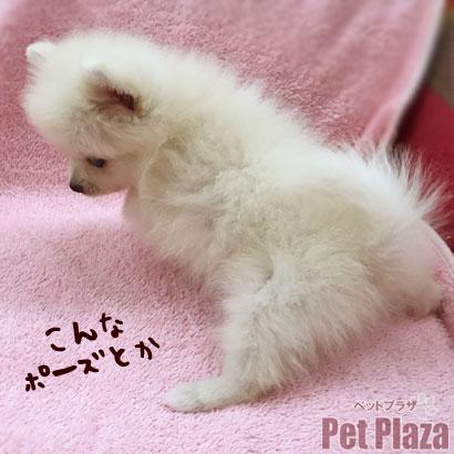 ポメラニアン ギガ 子犬 大阪 泉南 泉佐野 和歌山
