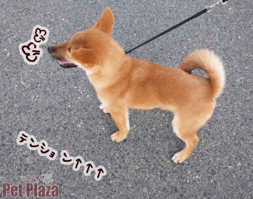 柴犬 赤 大阪 泉南 泉佐野 和歌山 りんくう