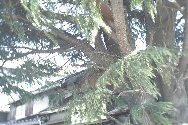 トトロの木