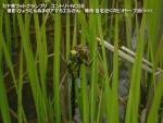 058 s-kurosujiginyanma160418 038