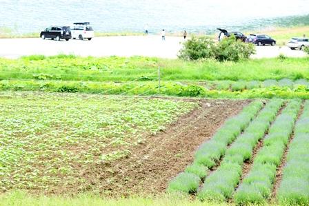 湖畔のヒマワリとラベンダー畑