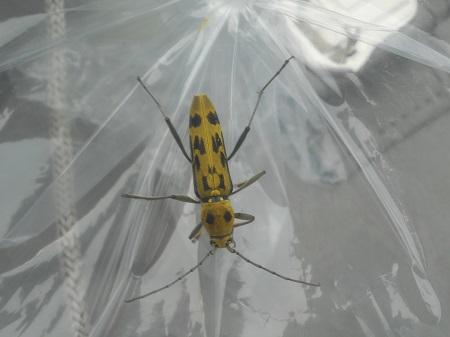 昆虫採集:キイロトラカミキリ祭り10