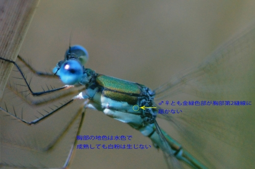 コバネアオイトトンボ1