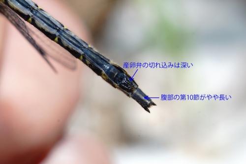 オグマサナエ♀2