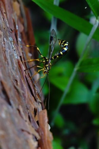 オオホシオナガバチ2