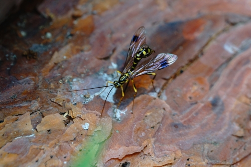 オオホシオナガバチ6