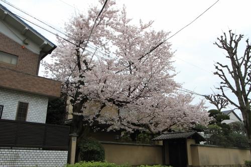 桜満開の日曜日1