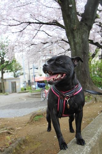 桜満開の日曜日2