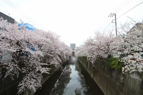 桜満開の日曜日3