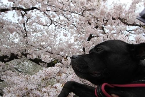桜満開の日曜日4