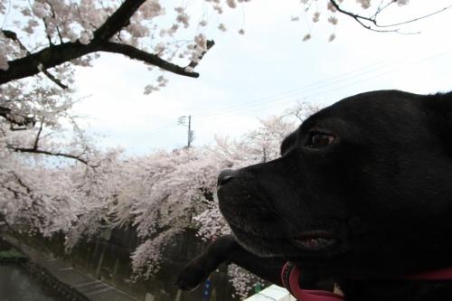 桜満開の日曜日5