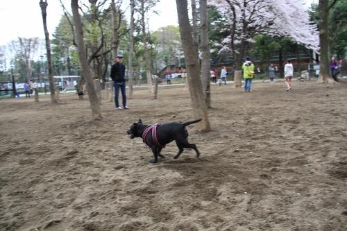 桜満開の日曜日17