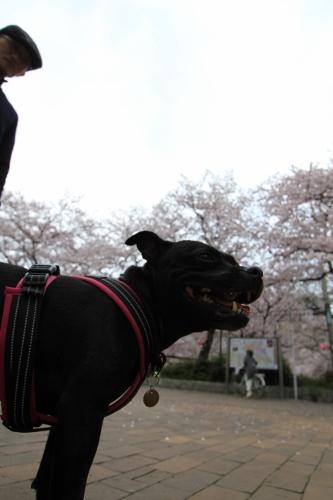 桜満開の日曜日18