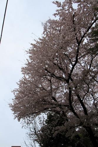 桜満開の日曜日19