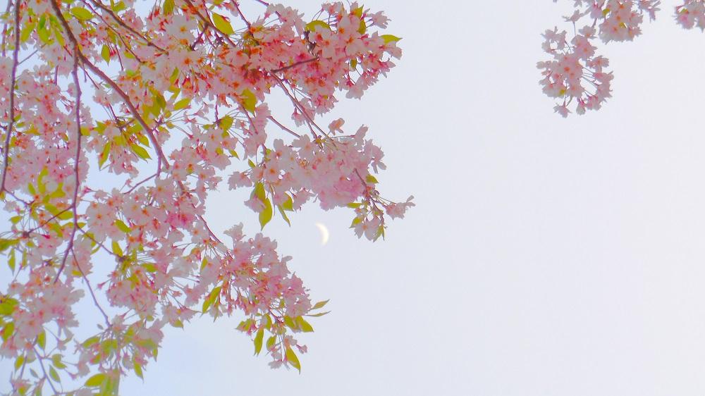DSCN0931-ピンク-20160408