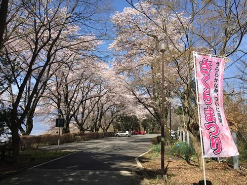 里山の桜100
