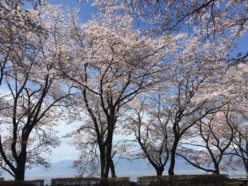 里山の桜200