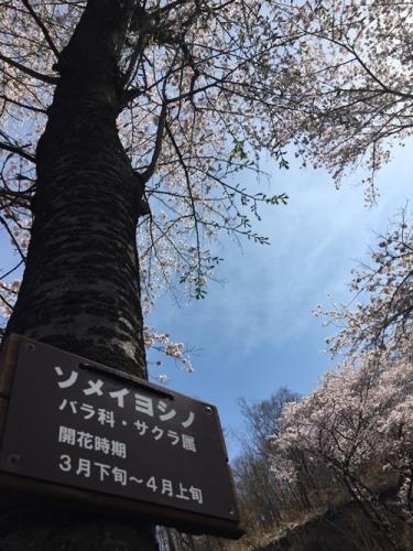 里山の桜600